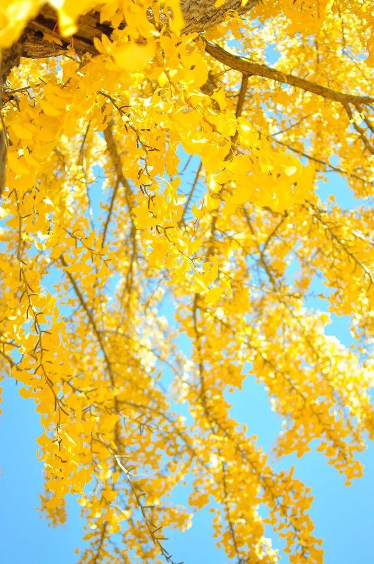 青空と黄葉したイチョウの写真素材